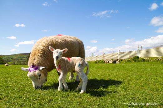Easter lambs